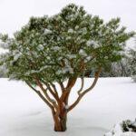 Pinus densiflora 'Tagyosho' Japanese Red Pine enlivens winter scene