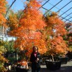 'Hogyoku' in brilliant fall orange