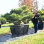 Pinus thunbergii 'Banshoho'  Dwarf Japanese Black Pine