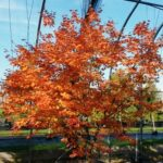 'Tsuma Beni' has lovely green bark and outstanding fall color for Pennsylvania