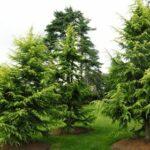 Unusual conifers including varieties of  Cedar and Cypress