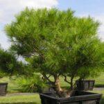A signature plant: kata-nagashi style pruned specimen of 'Tagyosho' Japanese Red Pine