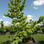 Pinus parviflora 'Glauca' Japanese White Pine
