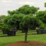 Pinus strobus 'Nana' Dwarf White Pine grafted 1975