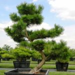 A signature plant: moyogi-style pruned specimen of 'Thunderhead' Pine