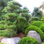 Pruned Pine with okarikomi, Manheim