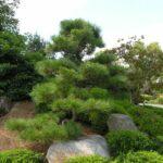 25 years of pruning on-site: Pinus thunbergii, Japanese Black Pine