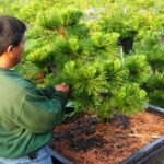 Early pruning of 'Thunderhead' Japanese Black Pine