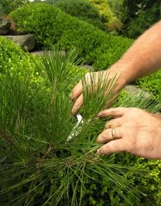 Japanese pruning scissors allow careful tending