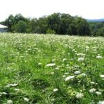 Wildflower meadows complement Danish architecture, Hershey