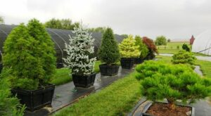 Selection of conifers 1