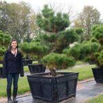 Pinus thunbergii 'Thunderhead' Japanese Black Pine moyogi-style pruned specimen