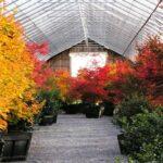 'Hogyoku', 'Osakazuki' and 'Palmatifolium'  in fall