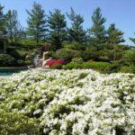 Azaleas herald Spring
