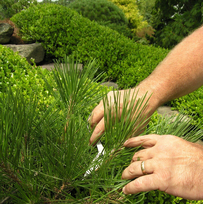 Japanese pruning scissors allow careful tending, Manheim, PA