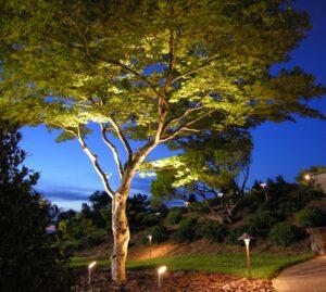 Japanese Maple glows like a lantern with up-lighting, Lancaster, PA