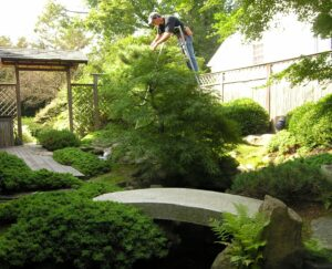 Special pruning ladder allows careful hand pruning for trees in Japanese courtyard garden, Penn Valley, PA