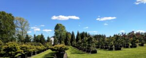 Carefully pruned Japanese Black Pines, Manheim, PA