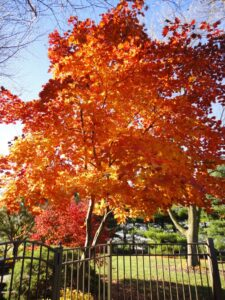 Kaede varieties of Japanese Maple like 'Oisami' have some of the most brilliant fall color, Lancaster, PA