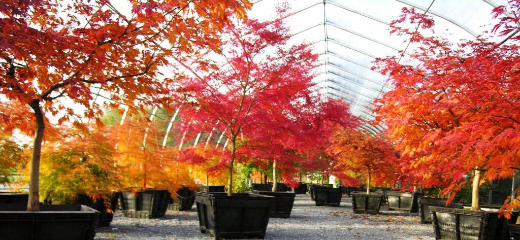 'Waterfall', 'Seiryu' and 'Mai Kujaku' Japanese Maples in fall, Manheim, PA
