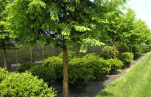 Limited selection of large shrubs for instant appeal, Manheim, PA
