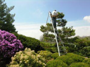 Hand pruning Japanese Black Pine, Manheim, PA
