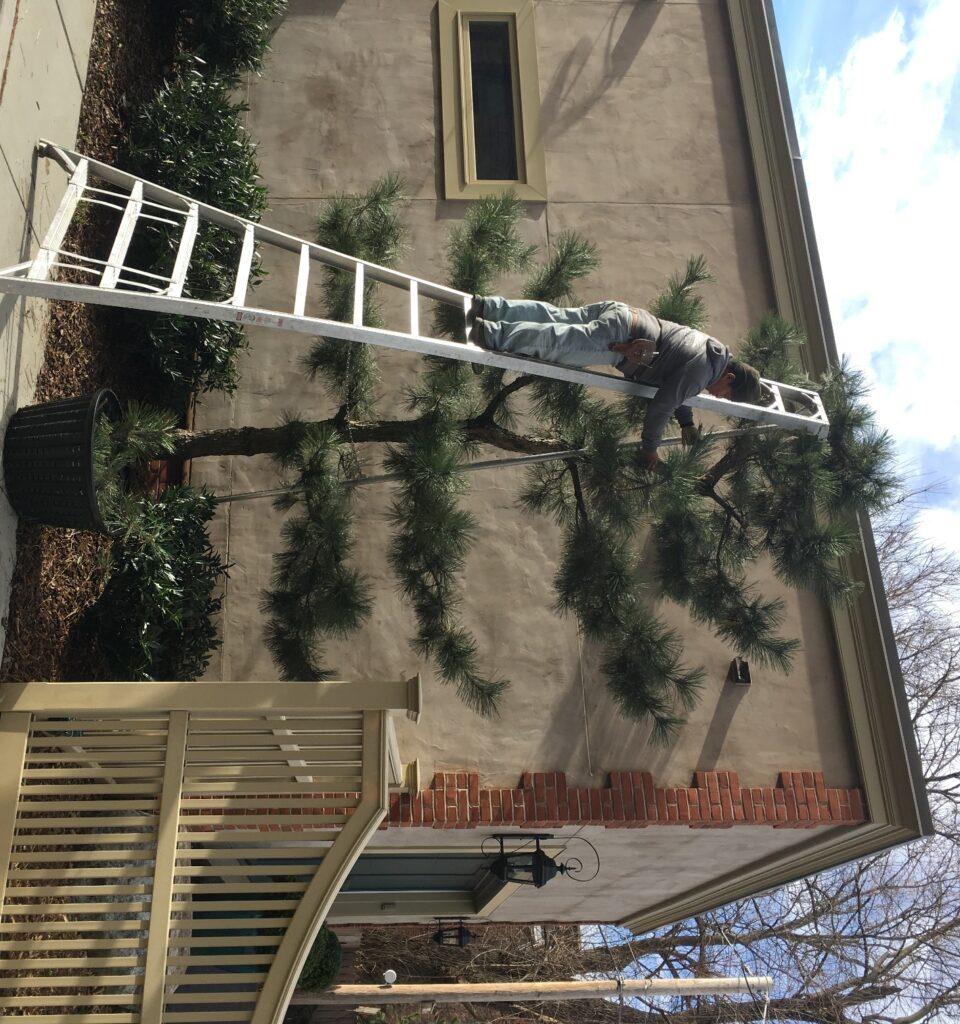 Espalier of Japanese Black Pine in city garden, Harrisburg, PA