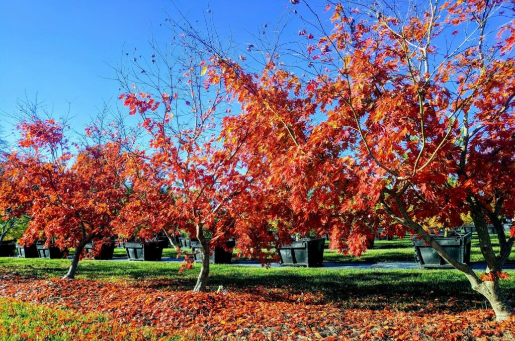 Japanese maples in fall at nursery, Manheim, PA