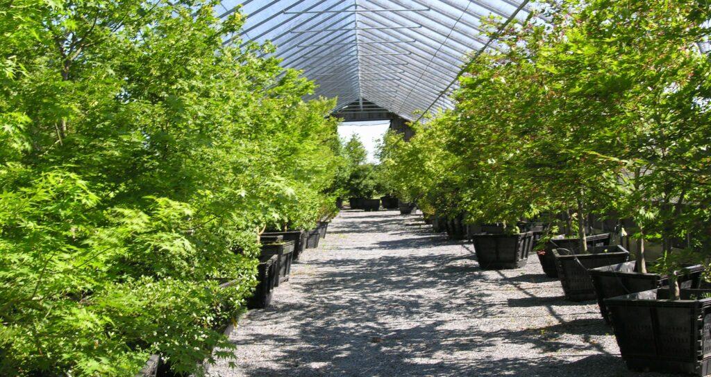 'Osakazuki' Japanese Maple and Paperbark Maple in summer, Manheim, PA