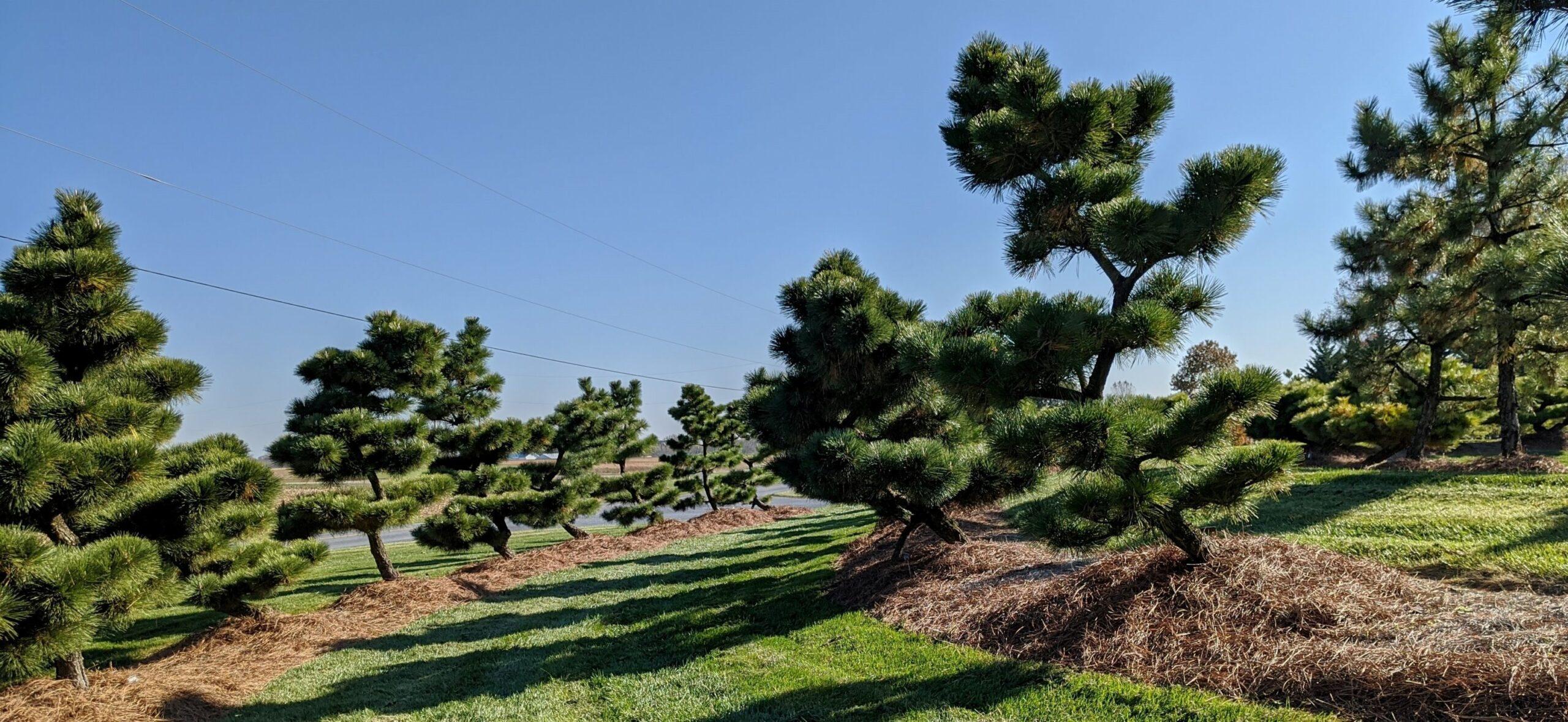 Pinus thunbergii 'Thunderhead', 'Banshoho' and 'Fuji' Japanese Black Pine, Manheim, PA
