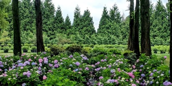 Hydrangea in summer bloom, Manheim, PA