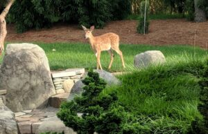Wildlife visitor lends approval to simple natural plantings, Manheim, PA
