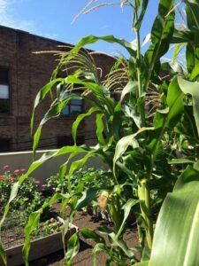 Imagine picking an ear of fresh corn in your city garden, Harrisburg, PA