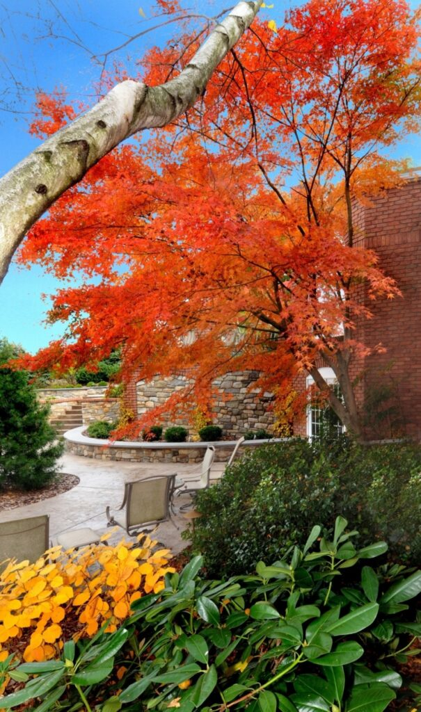 Green Japanese Maple in fall, Lancaster, PA