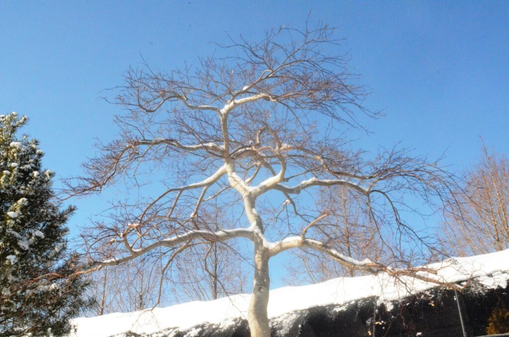 Developing the lifetime branch structure on 'Inaba Shidare' weeping Japanese Maple, Manheim, PA