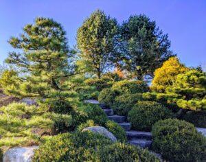 Pruned Pine and okarikomi (shaped shrubs) are traditional favorites for Japanese hillside gardens, Manheim, PA