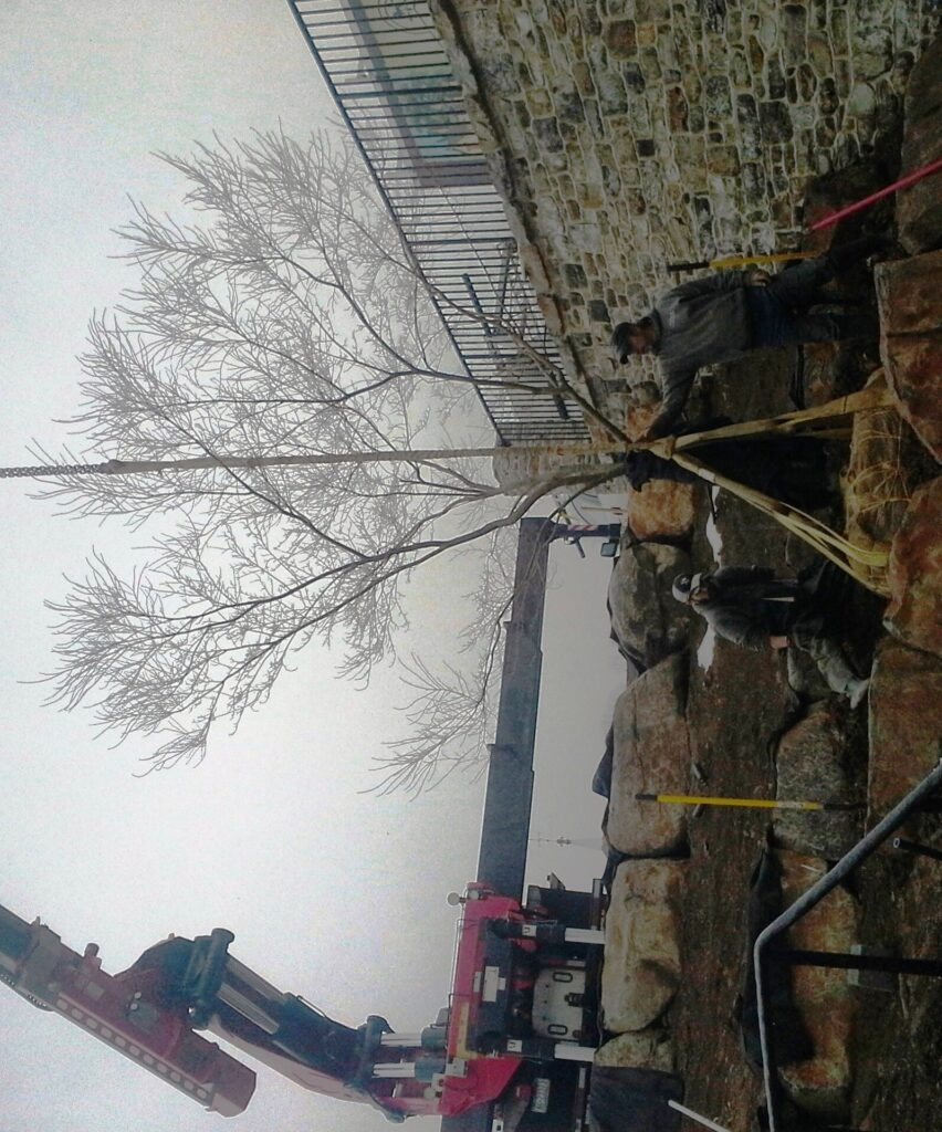 Late winter is the best time to move 'Seiryu' Japanese Maple (installed with crane), Elizabethtown, PA