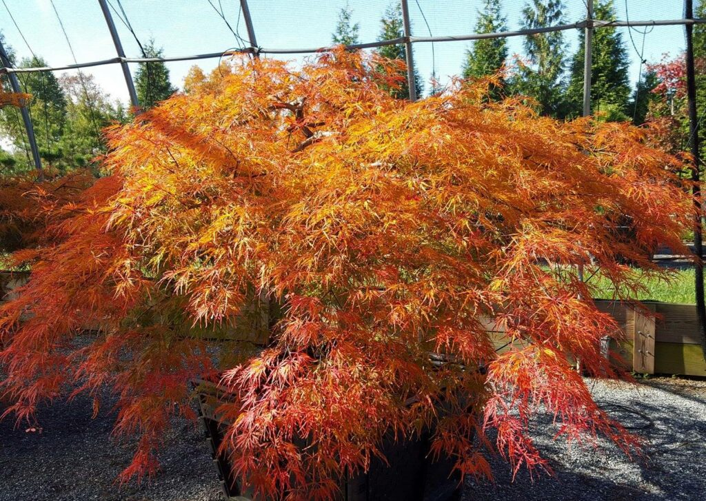 'Waterfall' weeping Japanese Maple in October sun, Manheim, PA