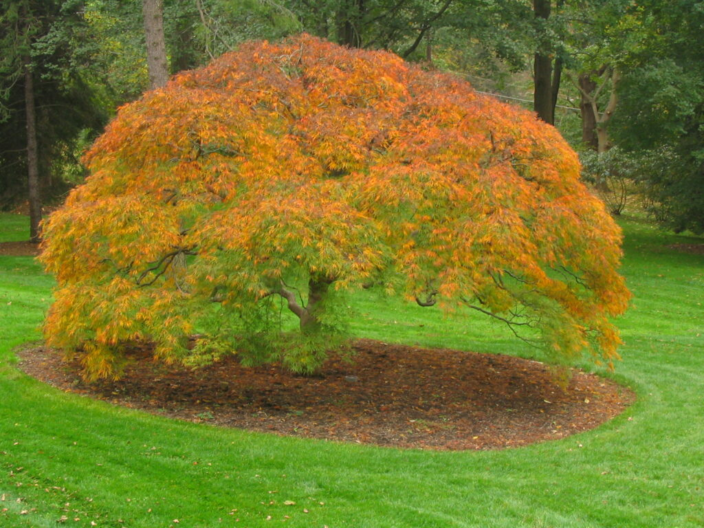 Developing and caring for 100+ year old specimen Weeping Japanese Maple, Villanova, PA