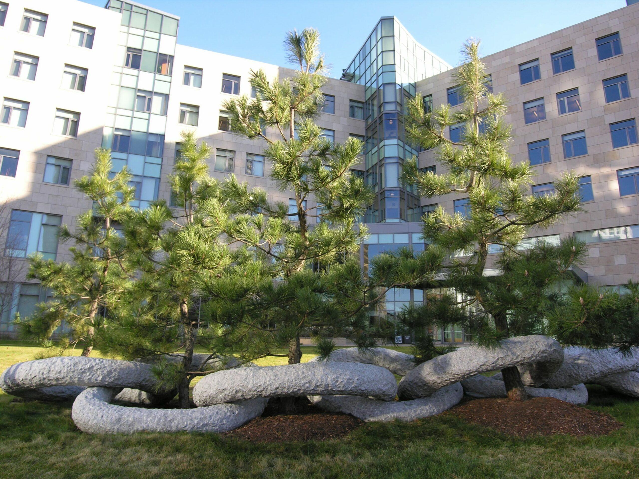 Japanese Black Pines grace Sloan Finance building at MIT, Cambridge, MA