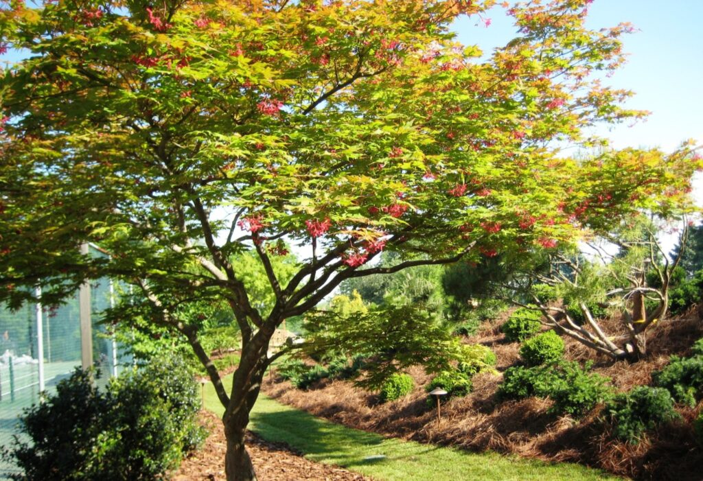 Green Japanese Maple in spring, Lancaster, PA