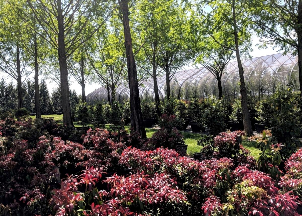 Pieris showing new spring growth, Manheim, PA